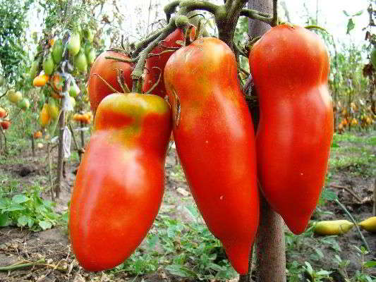 теплица выращивание помидор сорта