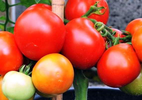помидоры для теплицы из поликарбоната сорта лучшие отзывы