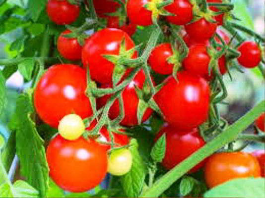 семена томатов самые урожайные сорта на 2018 год