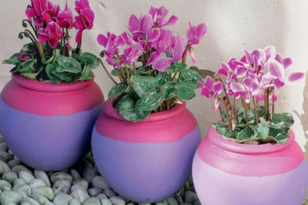 цикламен как выглядит цветок