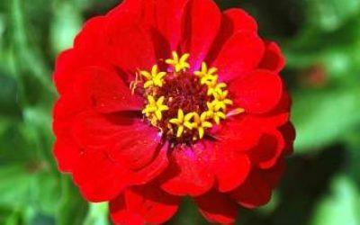 Как вырастить цинию из семян когда сажать на рассаду
