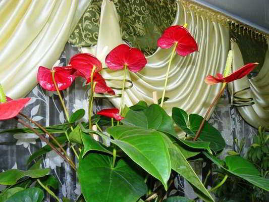 цветок антуриум приметы и суеверия