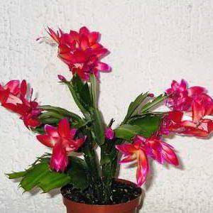 Цветок декабрист (шлюмбергера, зигокактус) уход в домашних условиях