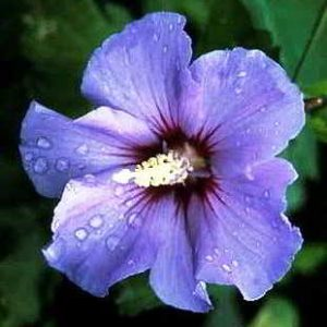 Особенности ухода и размножения гибискуса садового