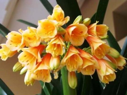 цветок кливия фото