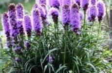 Лиатрис: посадка и уход в открытом грунте луковицами, семенами