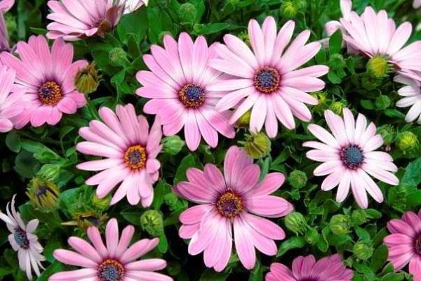 цветок остеоспермум из семян