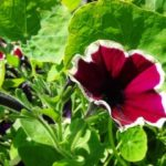 петуния фото цветов когда сажать