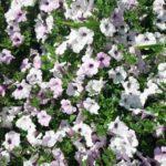 петуния фото цветов на балконе