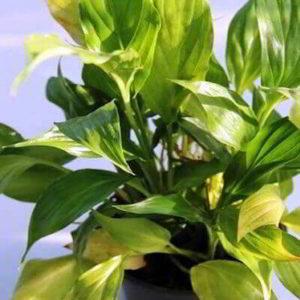 Спатифиллум – почему желтеют листья, что делать? Причины, ошибки в уходе, лечение
