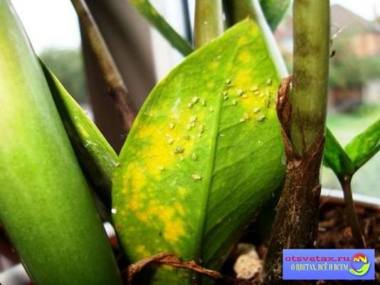 цветок замиокулькас желтеют листья