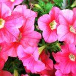 петуния фото цветов в саду