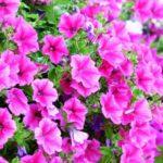 петуния фото цветов на клумбе