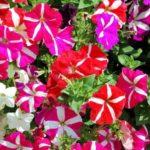 петуния фото цветов клумбы
