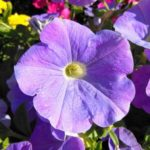петуния фото цветов рассада