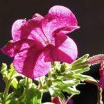 петуния фото цветов в клумбе