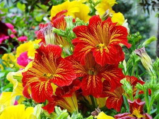 цветы сальпиглоссис