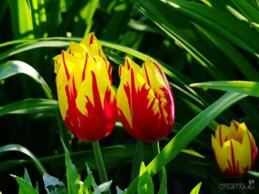 тюльпаны посадка и уход в открытом грунте фото когда сажать