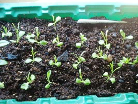 выращивание турецкой гвоздики из семян