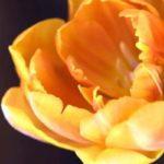 комнатные цветы цветущие фото и название