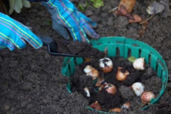 тюльпаны посадка осенью сроки посадки фото