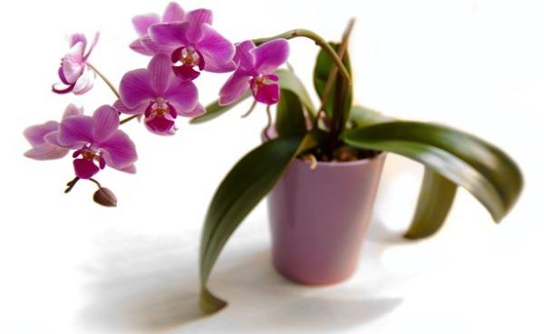 как ухаживать за орхидеей в домашних горшках