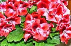 Пеларгония – правила ухода за цветком в домашних условиях
