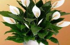 Правильный уход за цветком женское счастье в домашних условиях