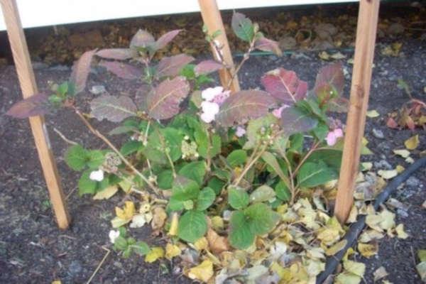 посадка гортензии осенью в подмосковье