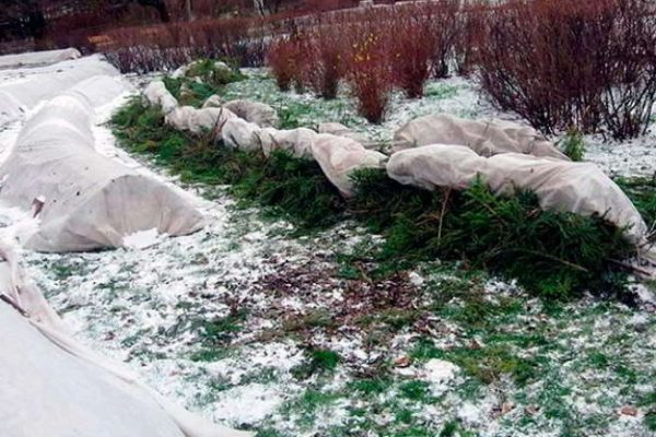 сроки укрытия роз на зиму в подмосковье
