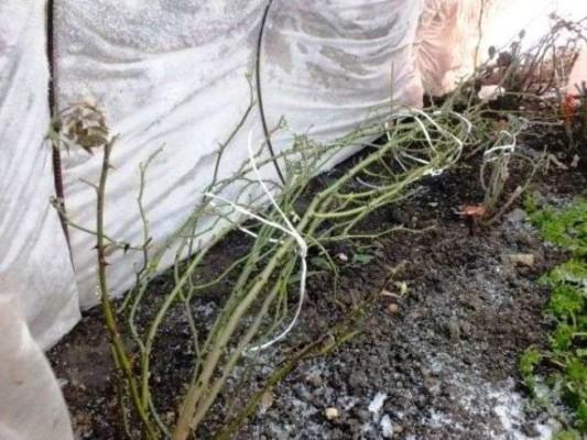 укрытие роз на зиму в подмосковье в 2016 году