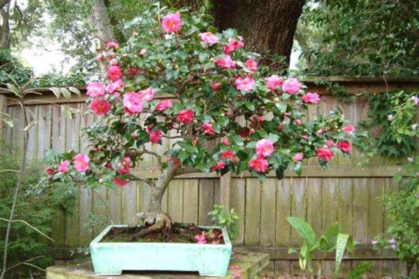 камелия уход и выращивание в домашних условиях фото