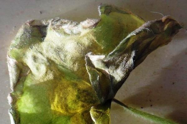 пораженный грибковой инфекцией лист герани