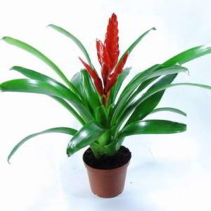 Вриезия: как ухаживать за растением в домашних условиях