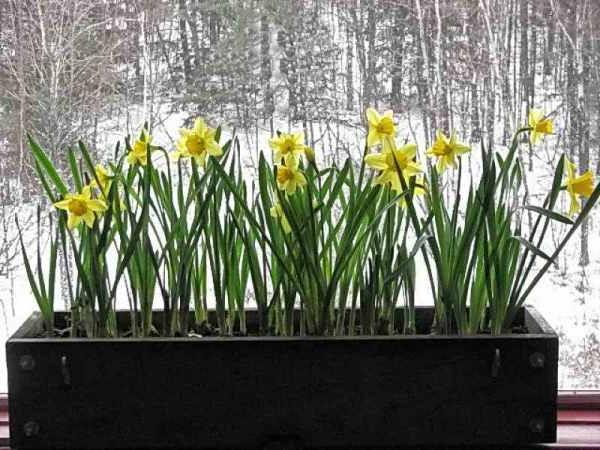 выгонка тюльпанов и нарциссов к 8 марта