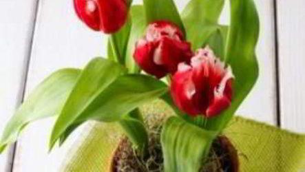Выгонка тюльпанов к 8 марта: подготовка луковиц, технология выращивания