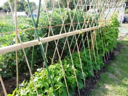 выращивание фасоли на опоре