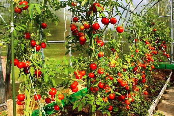 vysokoroslye_tomaty
