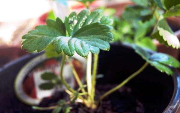 земляника из семян выращивание