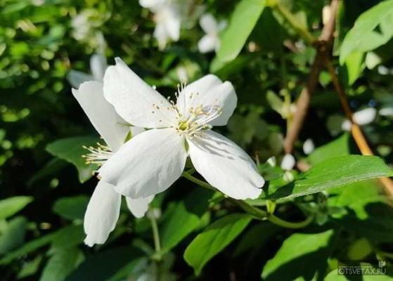 жасмин садовый посадка и уход фото в сибири