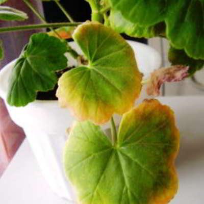 Почему желтеют листья у герани комнатной и как с этим бороться